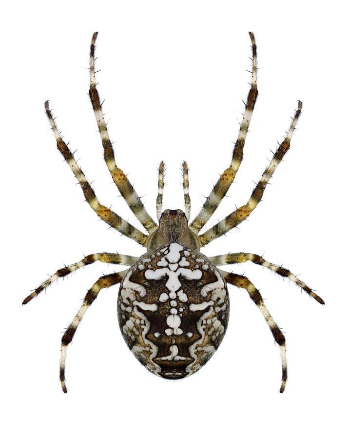 Araneus Diadematus паука стоковое фото rf
