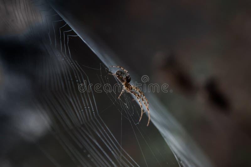 Araneus diadematus lizenzfreie stockfotos