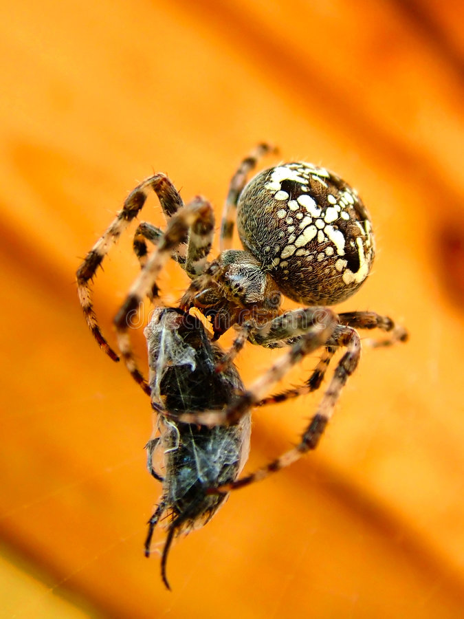 Araneus diadematus stockfotos