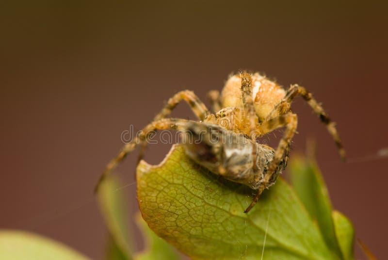 Download Araneus diadematus stock image. Image of araneus, wildlife - 26631043