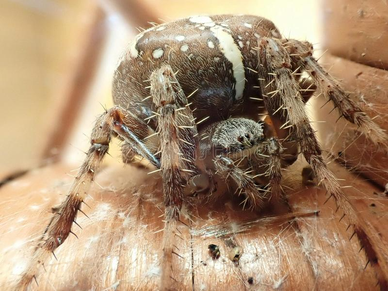 Araneus diadematus female close-up royalty free stock photography