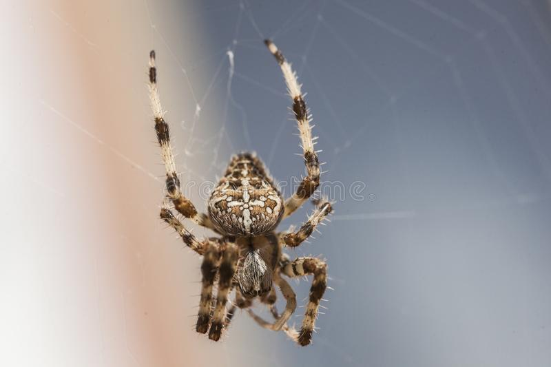 Araneus Diadematus  3 royalty free stock photos