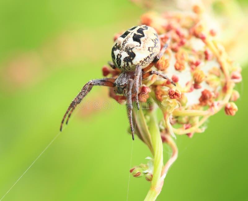 Araneus pająk oczekuje ofiary obraz stock