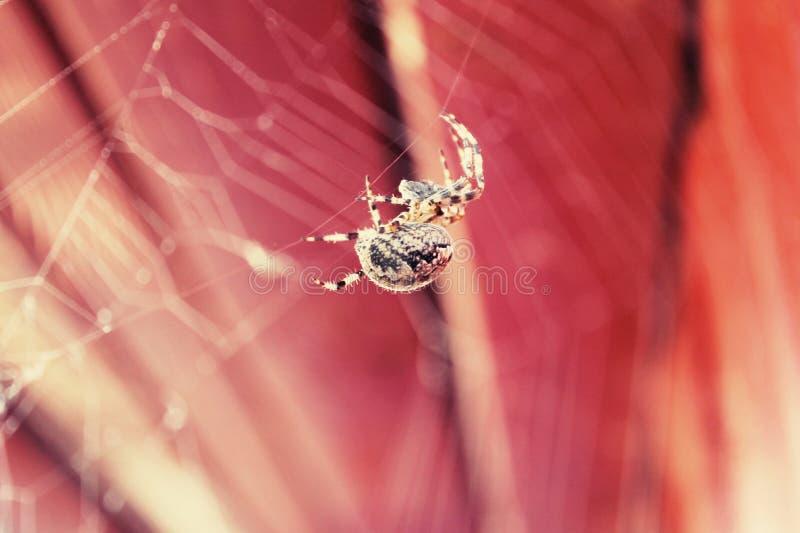 Araneus spider stock image