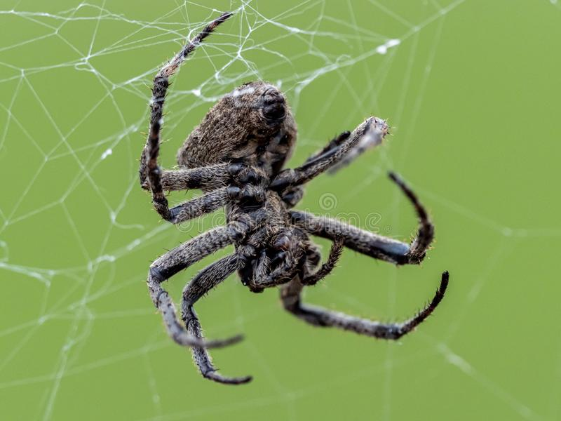 Araneus ventricosus orb weaver på webben 5 arkivbilder