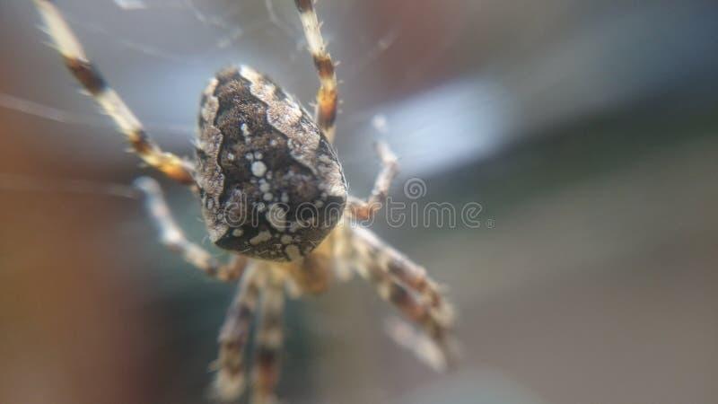 Araneusdiadematus - Europese kruisspin stock foto