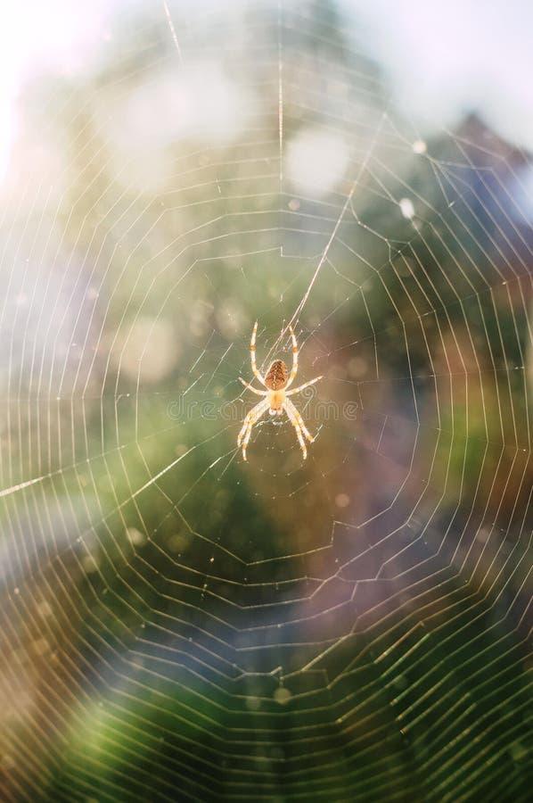 Araneusspin in het Web royalty-vrije stock fotografie