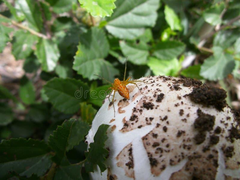 Aranha alaranjada no cogumelo em Suazilândia imagem de stock
