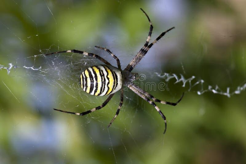 Aranha amarela foto de stock