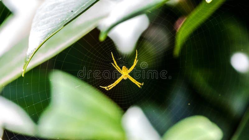 Aranha amarela fotos de stock royalty free