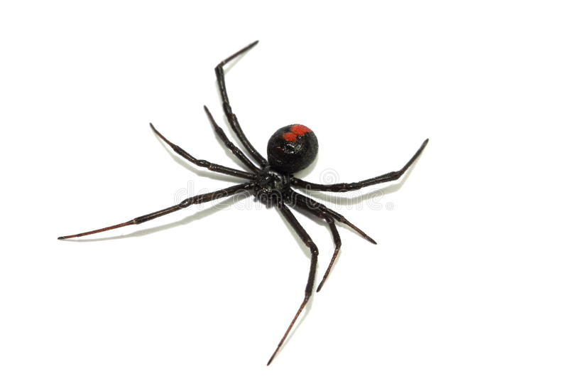 Aranha australiana do redback fotos de stock