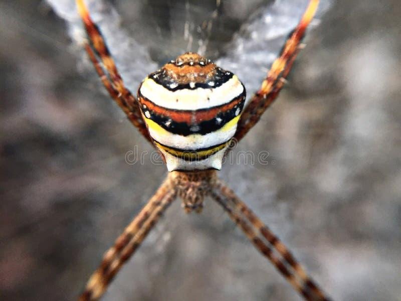 Aranha bonita no spiderweb fotografia de stock