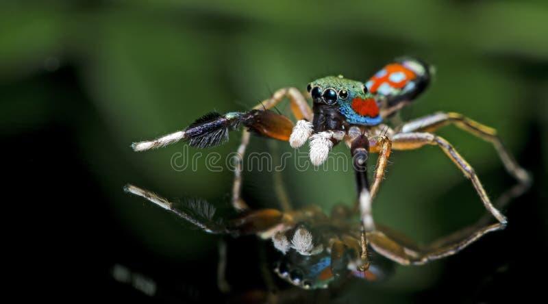 Aranha bonita no vidro, aranha de salto em Tailândia imagem de stock