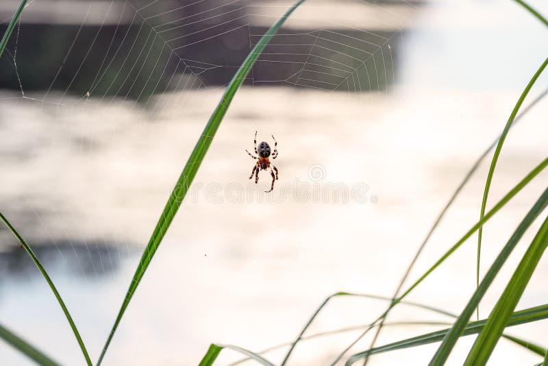 A aranha com cruz suporta sobre na Web foto de stock royalty free