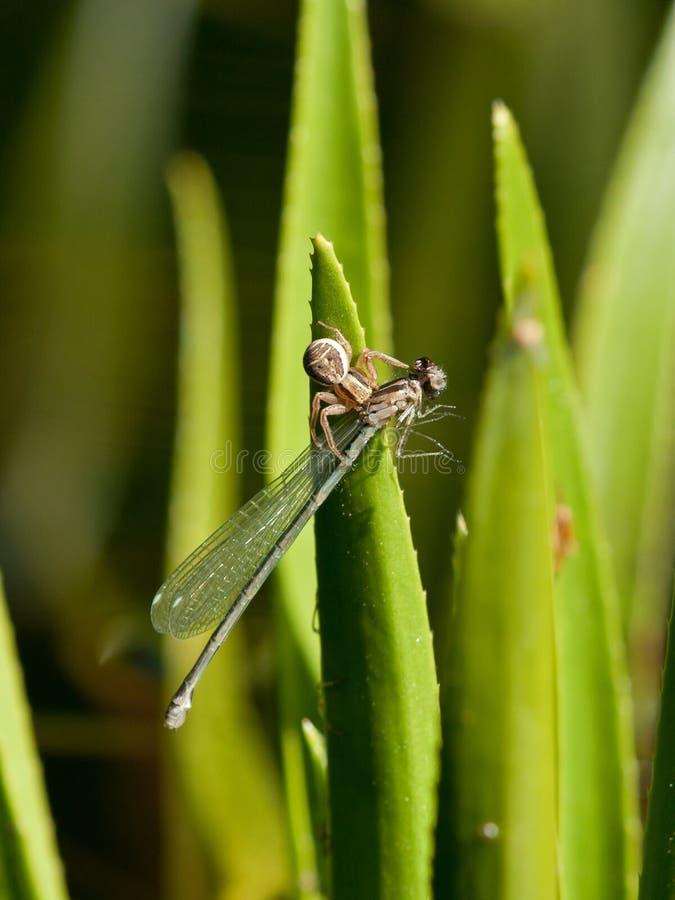 Aranha com mosca do damsel imagens de stock