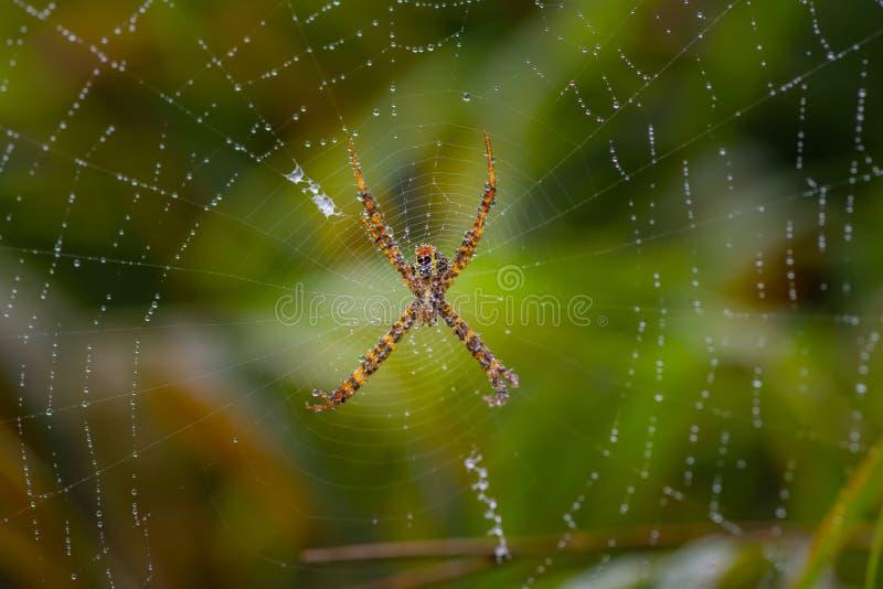 Aranha com spiderweb bonito com pingo de chuva fotografia de stock royalty free