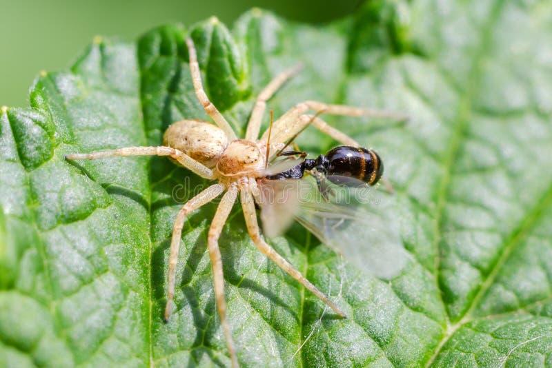 A aranha come insetos fotos de stock