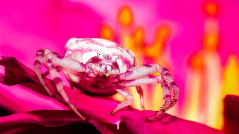 Aranha cor-de-rosa do caranguejo foto de stock