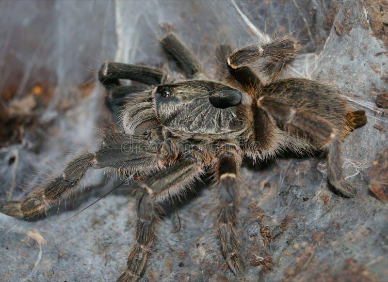 A aranha cresce grande foto de stock