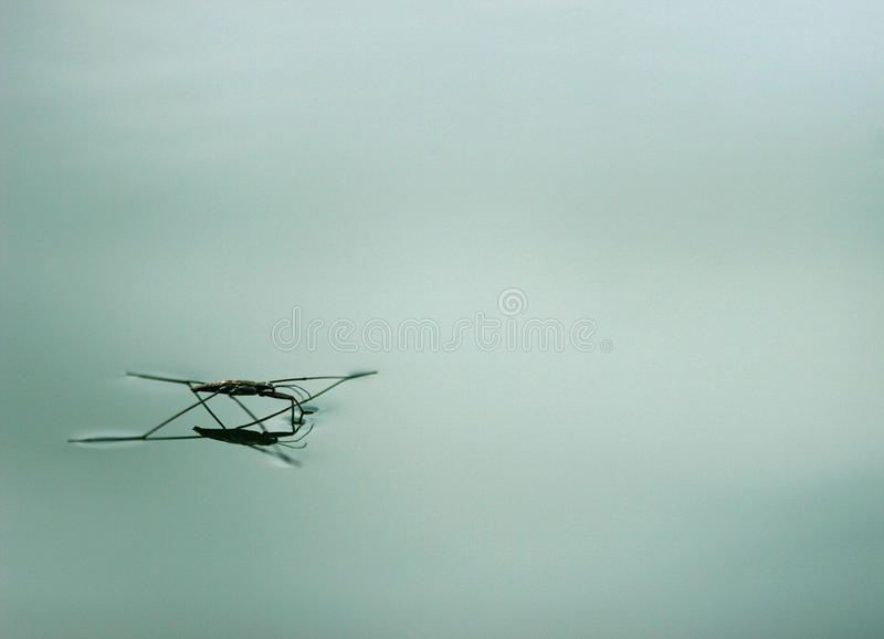 Aranha da água ou skater de lagoa fotografia de stock