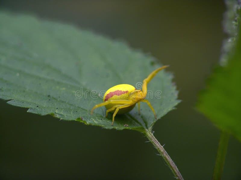 Aranha da flor. imagens de stock royalty free