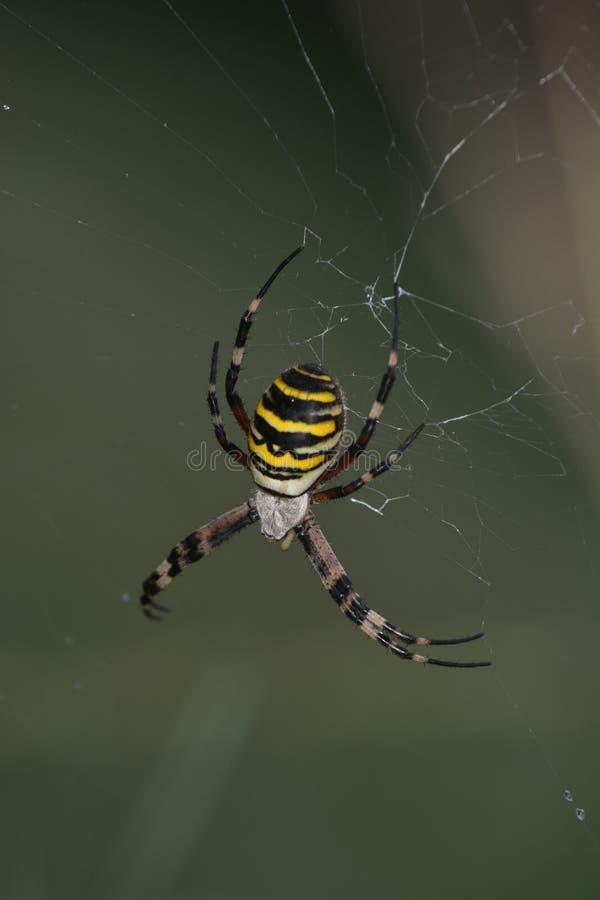 Aranha da aranha ou da vespa do tigre ou bruennichii do Argiope foto de stock royalty free
