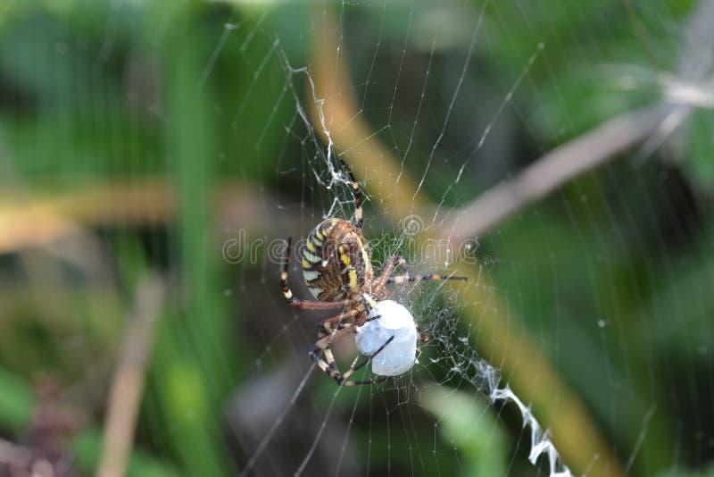 Aranha da aranha ou da vespa do tigre ou bruennichii do Argiope fotografia de stock royalty free
