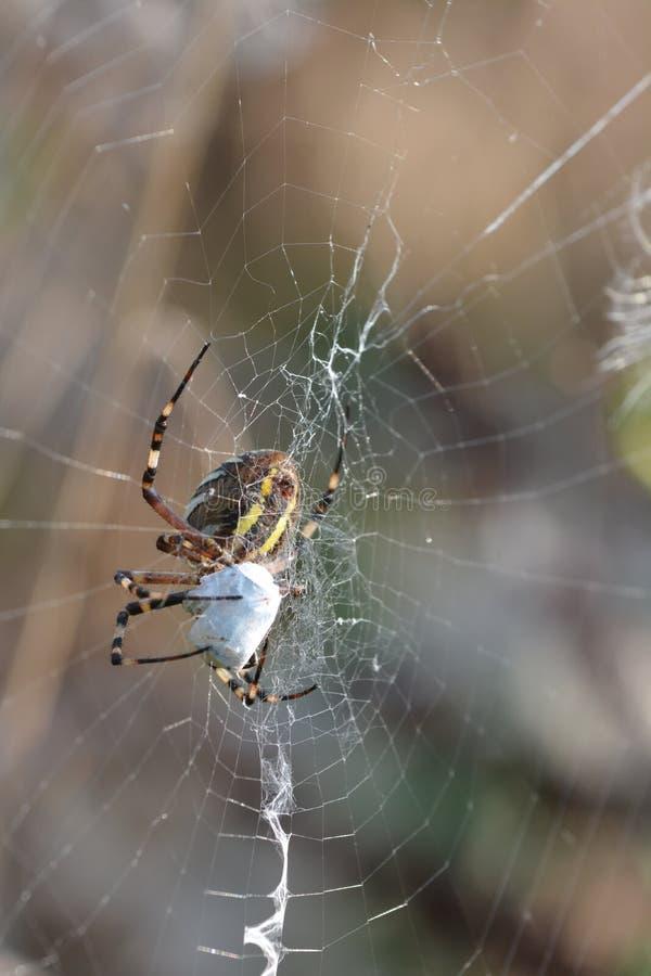 Aranha da aranha ou da vespa do tigre ou bruennichii do Argiope fotos de stock royalty free