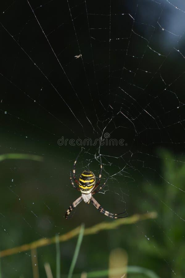 Aranha da aranha ou da vespa do tigre ou bruennichii do Argiope fotografia de stock