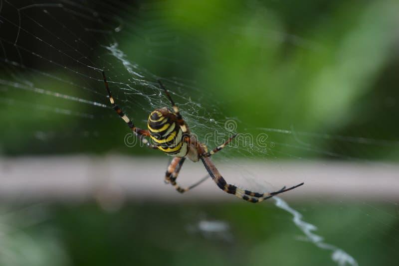 Aranha da aranha ou da vespa do tigre ou bruennichii do Argiope foto de stock