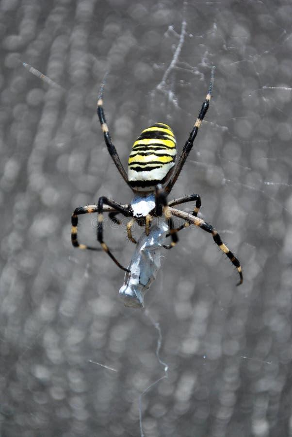 A aranha da vespa do bruennichi do Argiope fêmea na Web que guarda e trança sua vítima com teias de aranha fotografia de stock
