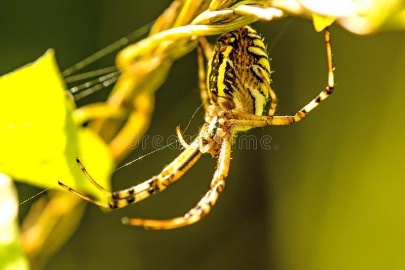 Aranha da vespa em sua Web fotografia de stock