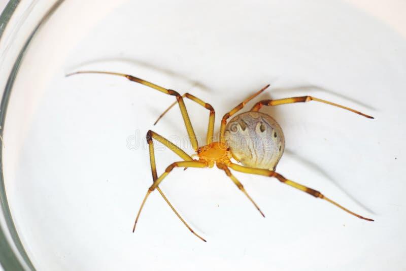 Aranha da viúva de Brown foto de stock