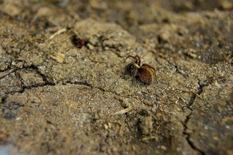 Aranha de Brown foto de stock royalty free