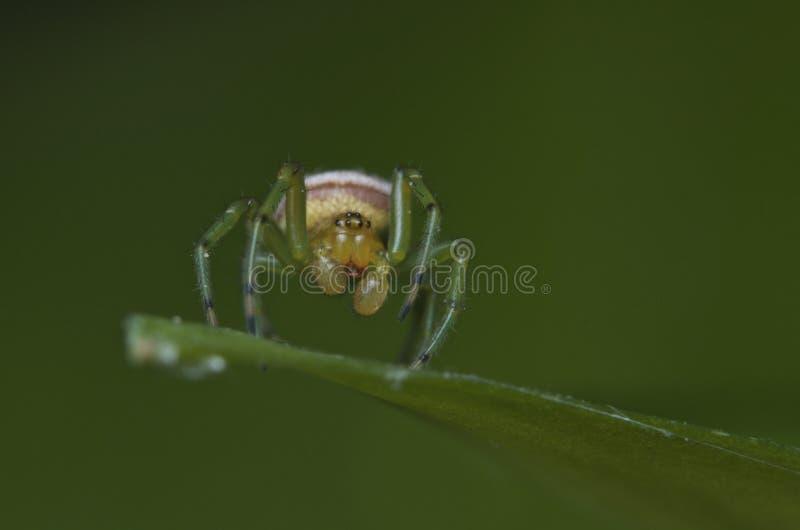 A aranha de Ghost imagens de stock royalty free