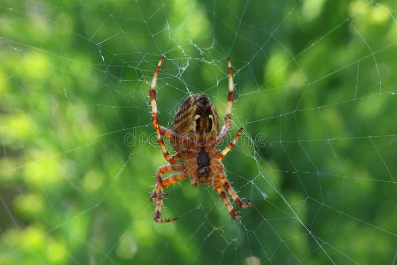 Aranha de jardim. imagem de stock royalty free