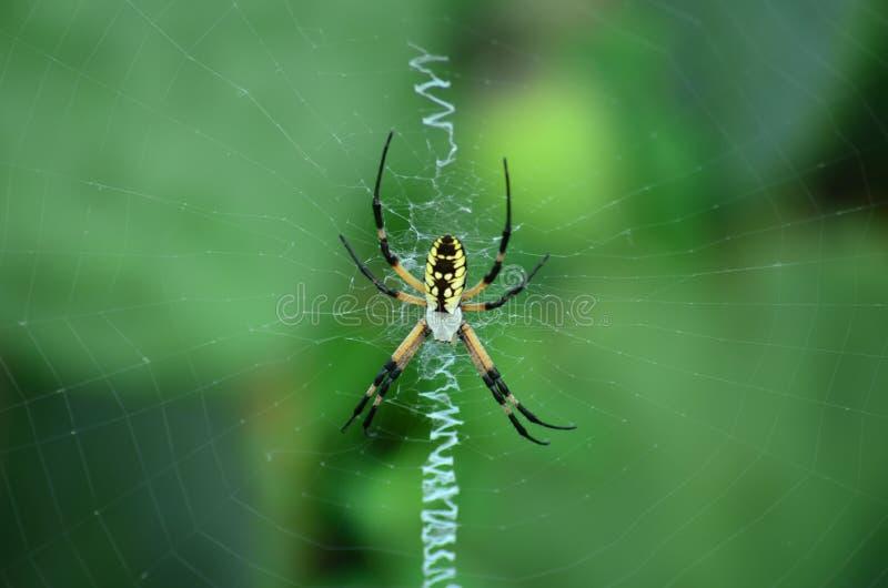 Aranha de jardim amarela e preta fotografia de stock royalty free