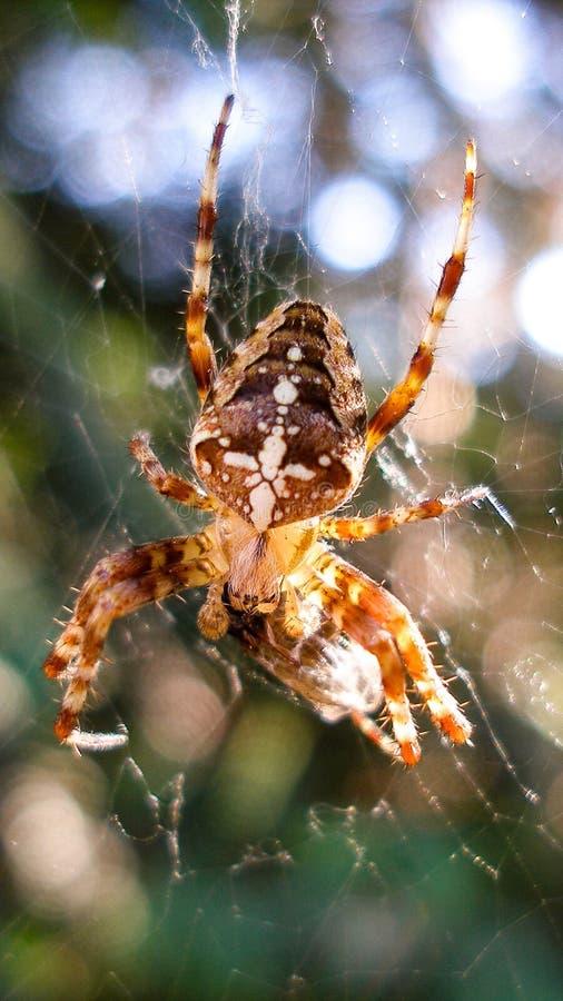 Aranha de jardim europeia - diadematus do Araneus fotos de stock