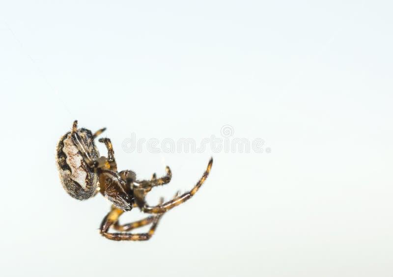Aranha de jardim europeia, diadematus do Araneus, aranha transversal imagens de stock