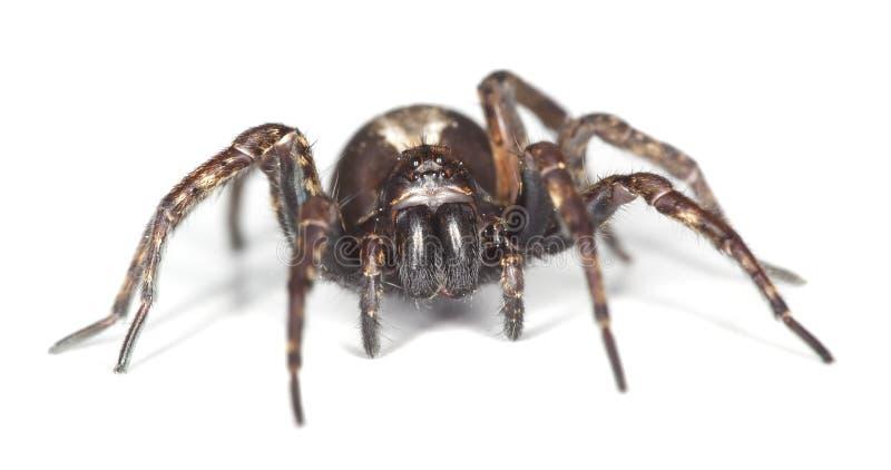 Aranha de lobo isolada no fundo branco fotografia de stock