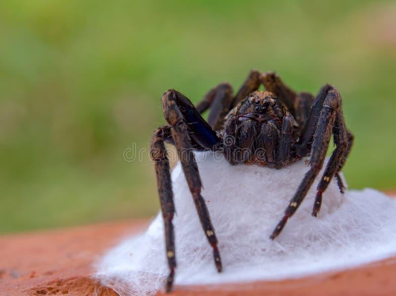 Aranha de lobo preta que toma de seu ninho fotos de stock royalty free