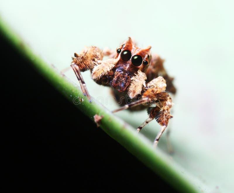 Aranha de Portia fotografia de stock