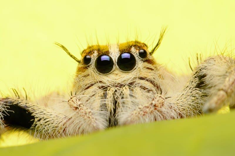 Aranha de salto foto de stock