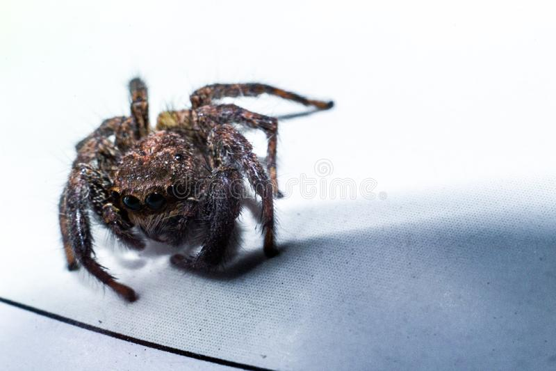 A aranha de salto capturou no fim acima foto de stock royalty free