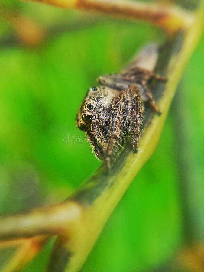 Aranha de salto em um ramo fotografia de stock