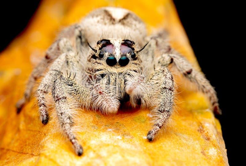 Aranha de salto fêmea selvagem com olhar branco e de creme da cor para a frente e para ficar na folha seca marrom e no fundo escu imagens de stock royalty free