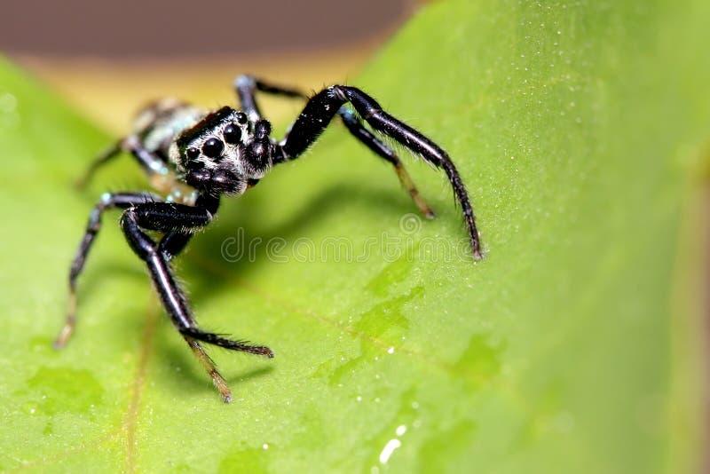 Aranha de salto, Malaysia fotografia de stock