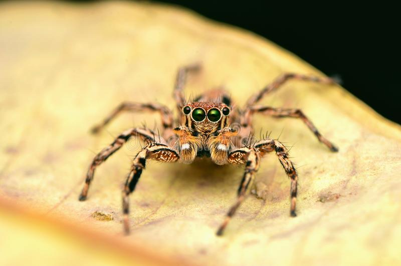 Aranha de salto masculina - petersi de Plexippus, olhar dianteiro, sentando-se na folha, Satara, Maharashtra, Índia imagem de stock