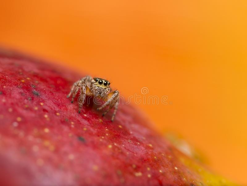 Aranha de salto na manga vermelha fotos de stock