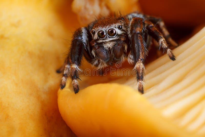 Aranha de salto no amarelo e no fundo de brilho do cogumelo da prima imagem de stock royalty free